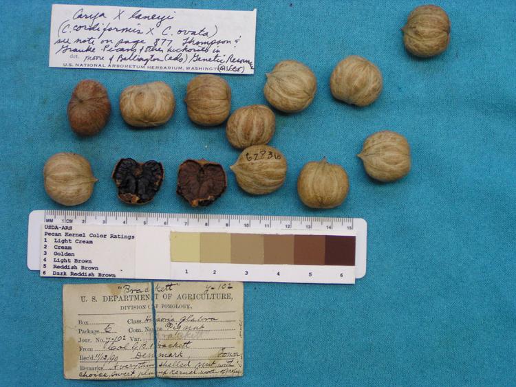 Hickories- Pignut hickory